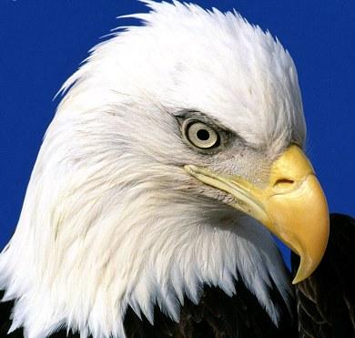 bald eagle tattoo. The ald eagle is a sea or