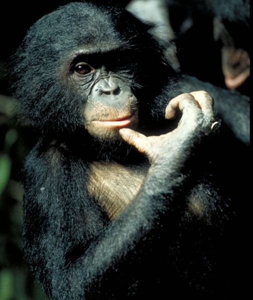 The hand of a bonobo: real hand.