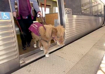 Mini Horse On An Airplane Listattendees Event Identifier